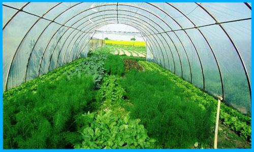 Вирощування зелені